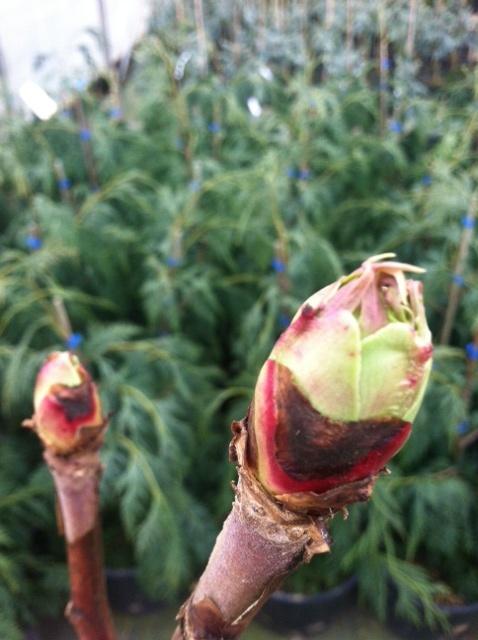 Tree Peony buds swelling