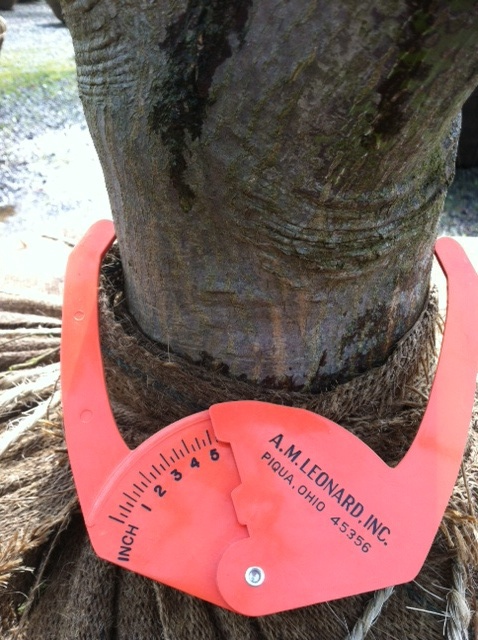 "5"" caliper Specimen Bloodgood Maple"