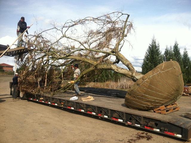 Loading specimen  Acer palmatum