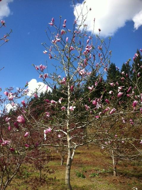 Magnolia  x 'Randy' Jr. Specimen