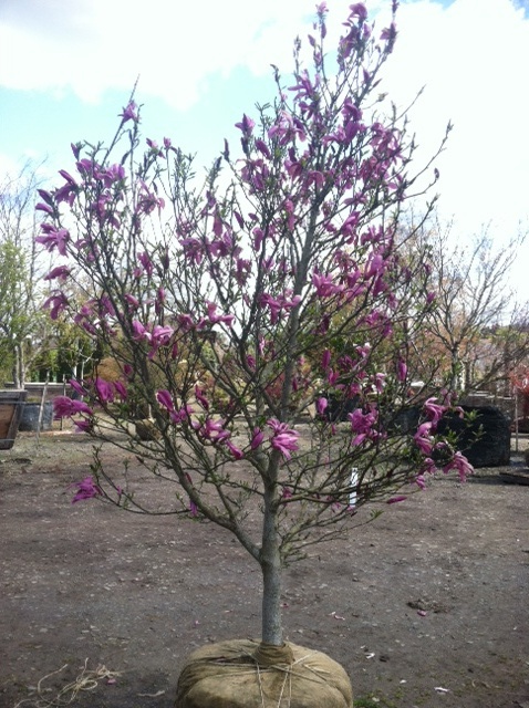 Magnolia  'Susan' Jr. Specimen