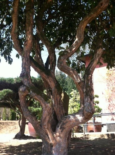 Rhododendron Specimen trunk