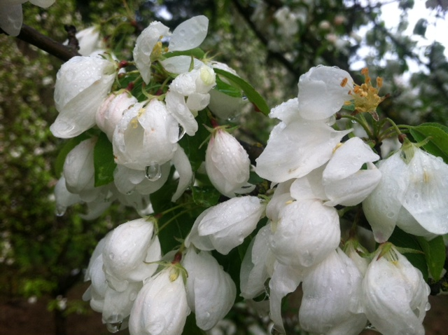 Malus  'Spring Snow' flowers