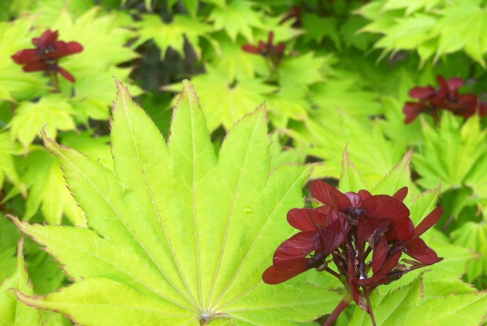 Acer shirasawanum  'Aureum' leaves & samara