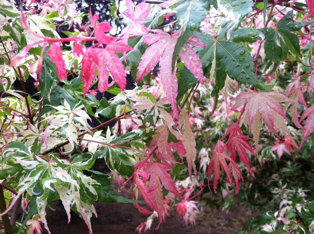 Acer p. 'Asahi Zuru' leaves