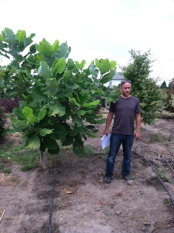 Magnolia macrophylla 8/10'