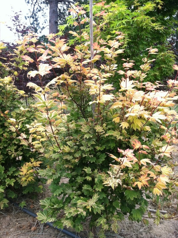 Acer circinatum 'Sunny Sister' 3/4'