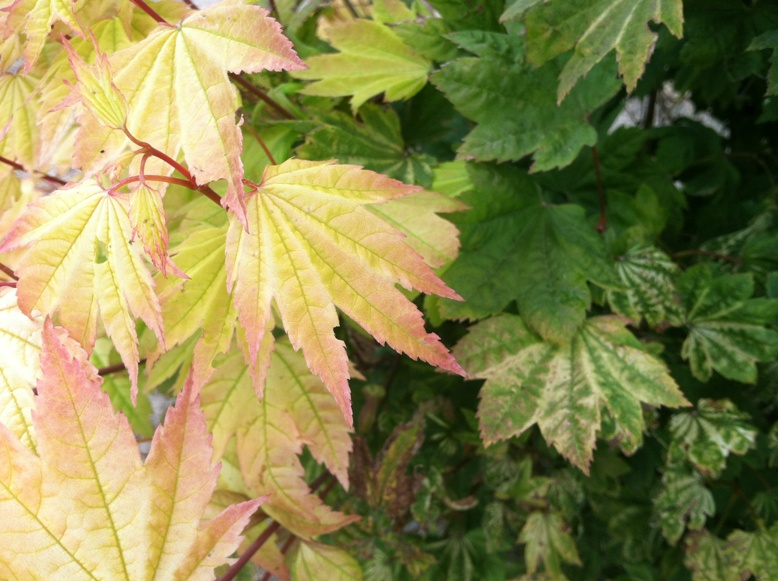 Acer circ.  'Sunny Sister'  summer leaf color