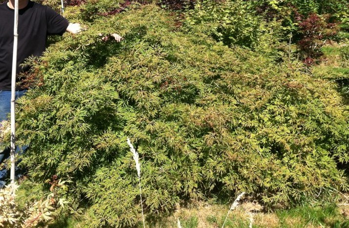 Acer japonicum  'Green Cascade' specimen 5/6'H x 10/11'W