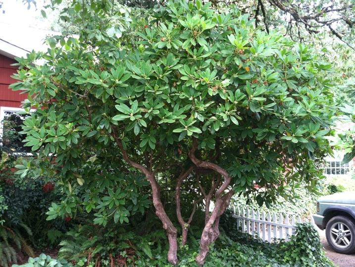 Specimen Rhododendron- White 12/14'H x 12/14'W