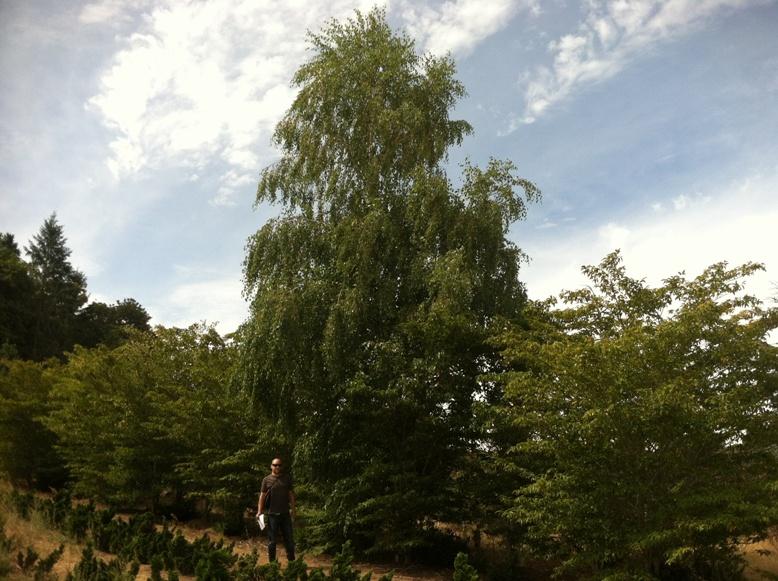 Betula pendula   40' Specimen