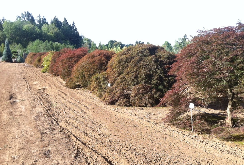 Specimen Japanese Maple rows