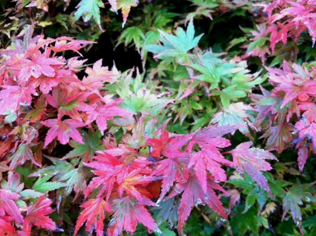 Leaves of Acer p. 'Coonara Pygmy' changing for fall