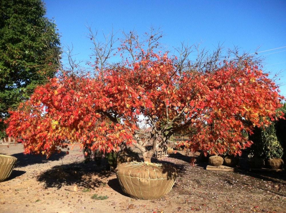 Acer palmatum  'Omurayama' specimen