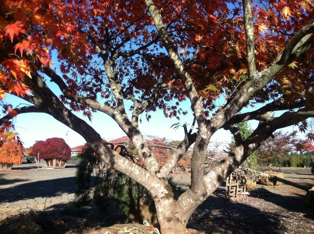 "Acer p. 'Omurayama' trunk. 6.5"" caliper"