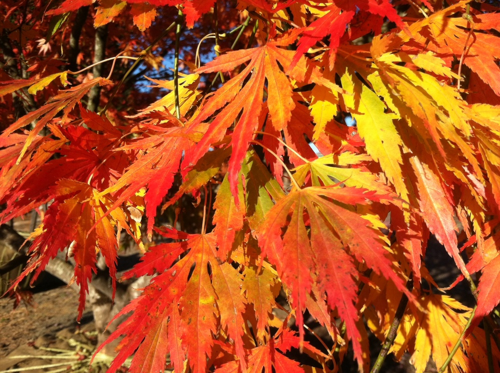 Acer p. 'Omurayama' fall color