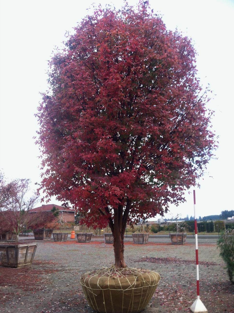 Acer griseum  fall color