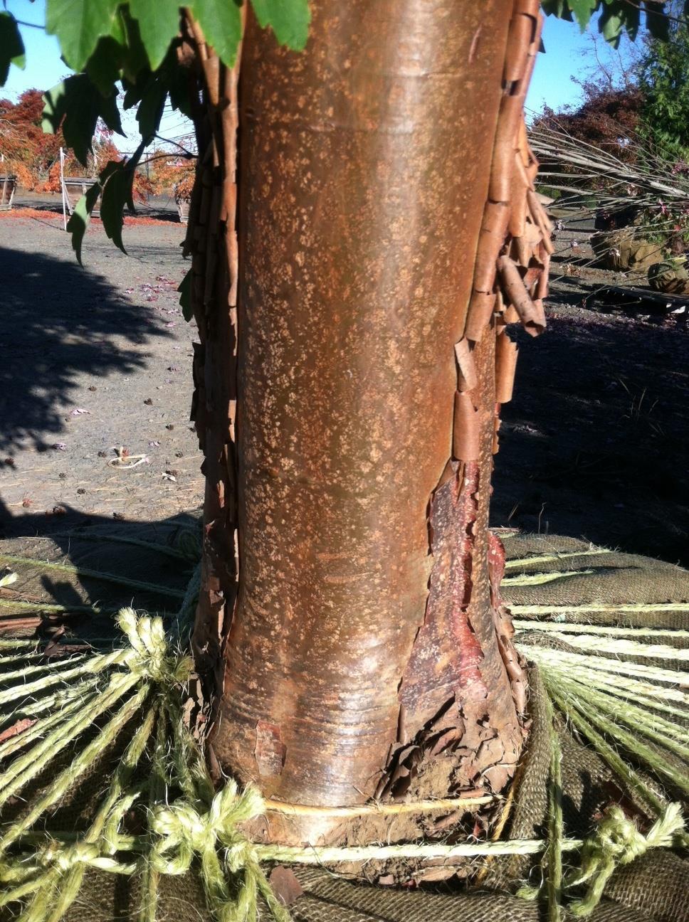 Acer griseum  specimen, trunk