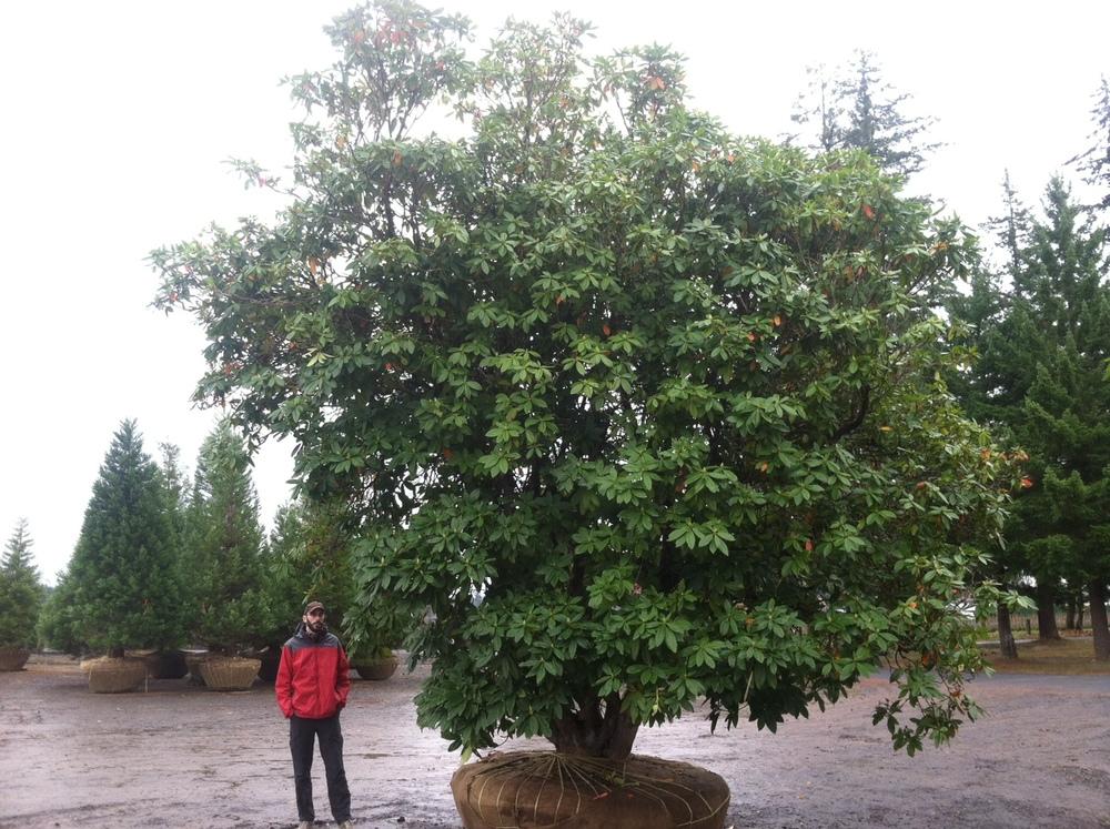 Rhododendron specimen