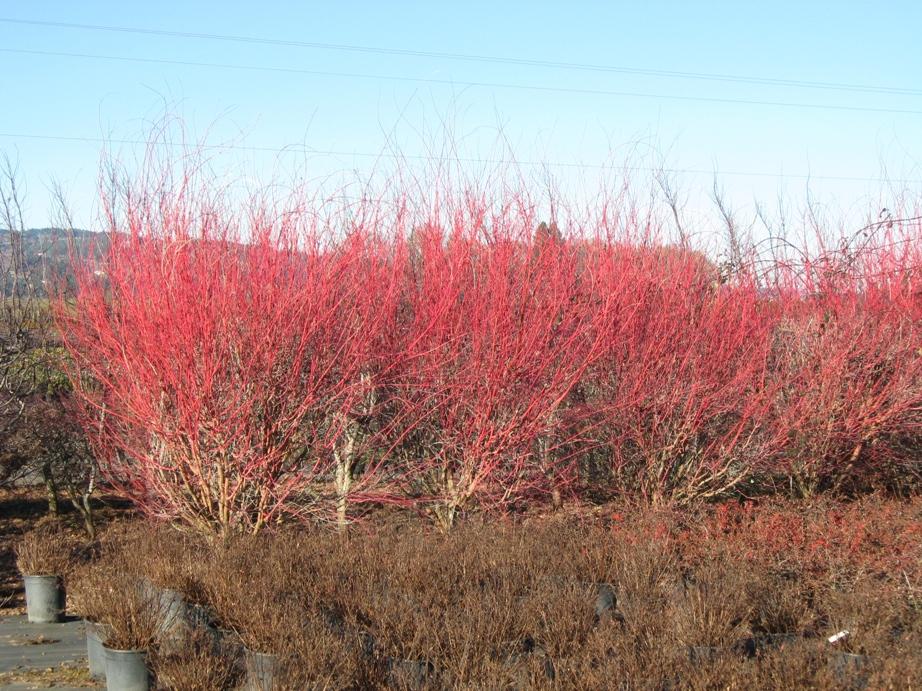 Acer p . 'Sango Kaku' row of color