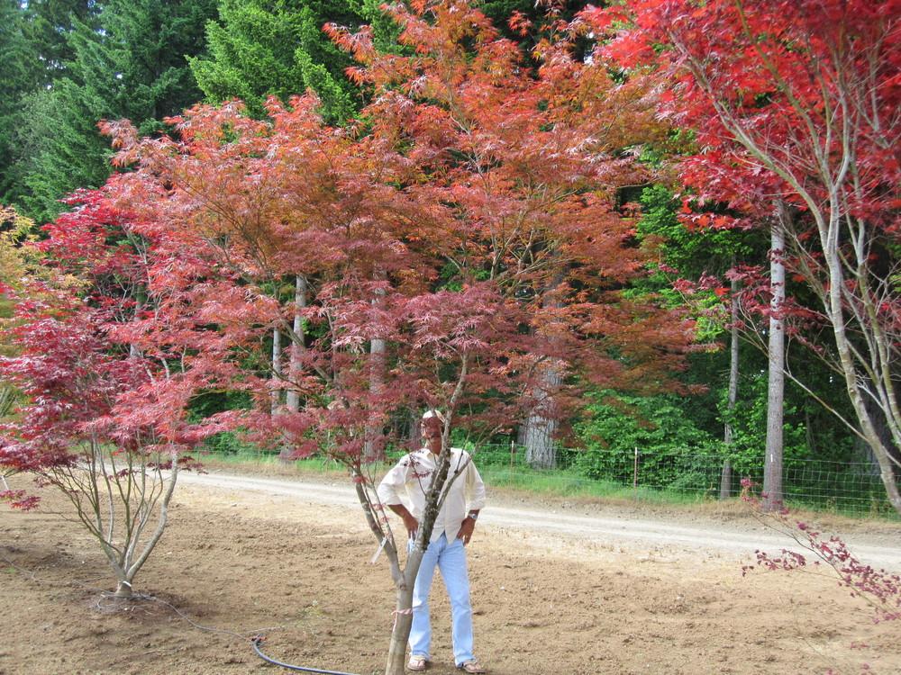 Acer palmatum  'Beni ubi gohon' specimen