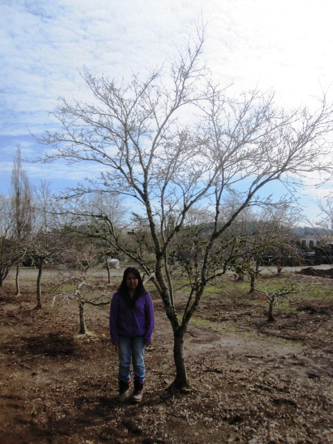 Acer p.  'Beni ubi gohon' specimen, winter