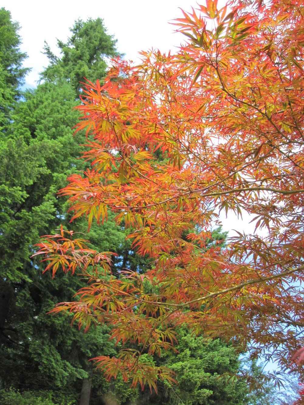 Acer p . 'Beni ubi gohon' specimen, spring leaf color