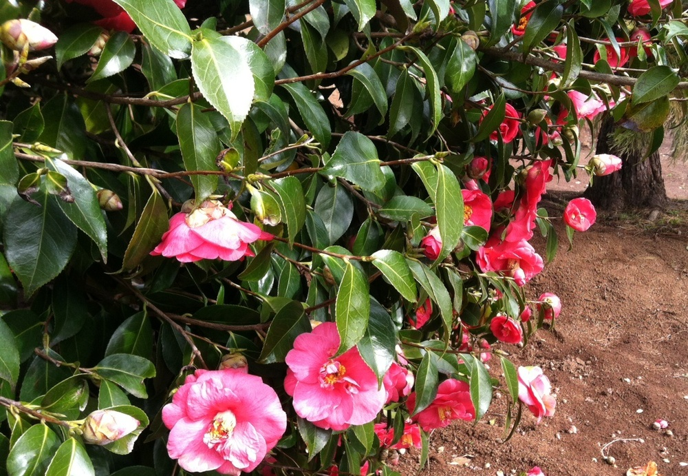 Camellia jap.   Unknown Pink,  April 1, 2014