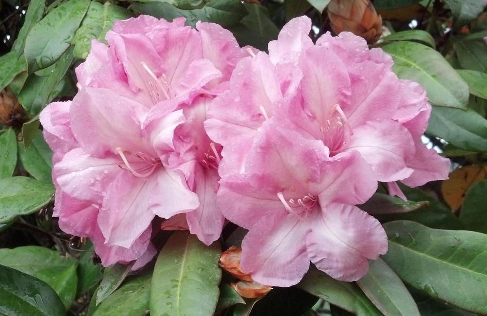 Rhododendron, specimen Flower Detail (? 'Alice' ?)
