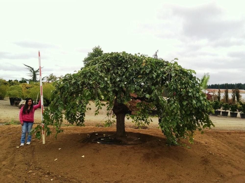 Ulmus glabra  'Camperdownii' Specimen #1