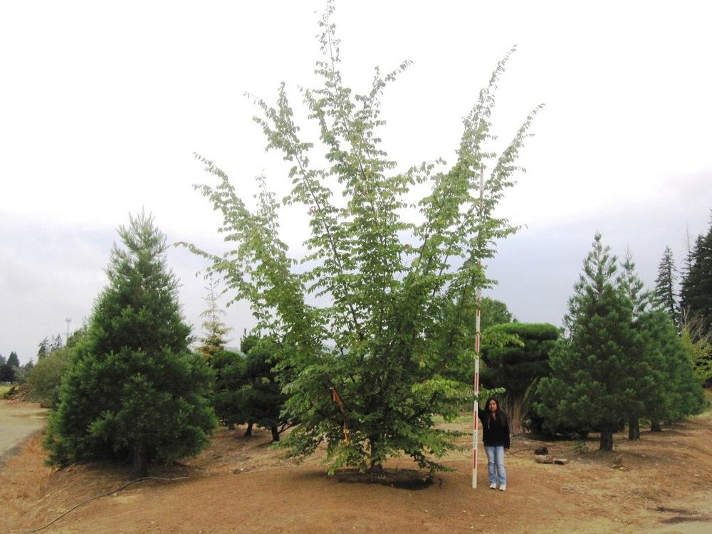 Parrotia persica  Specimen