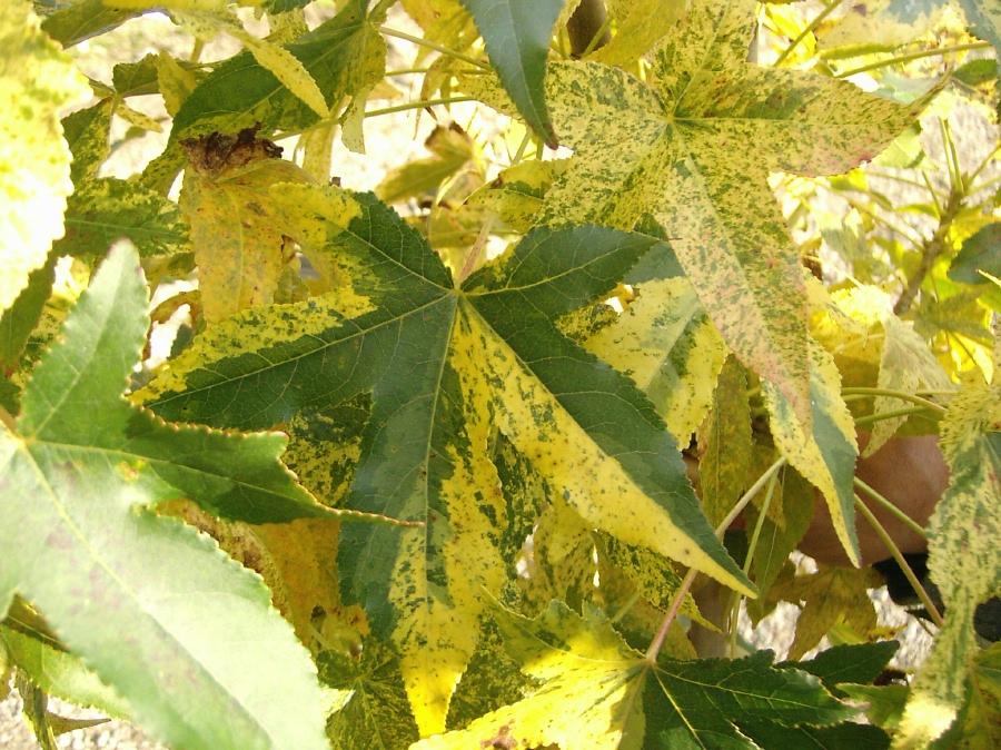 Liquidambar sty.  'Variegata' leaf detail