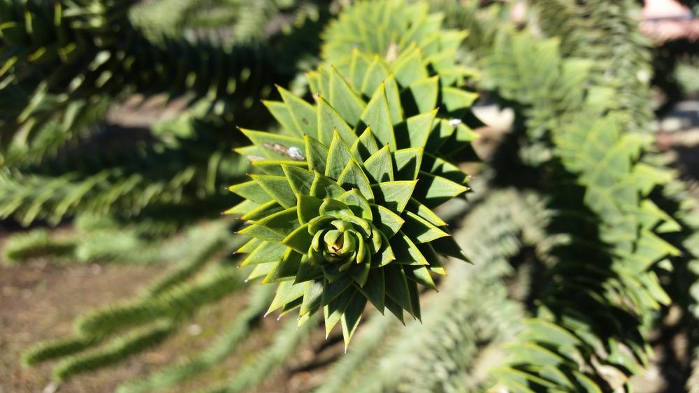 Araucaria leaf detail