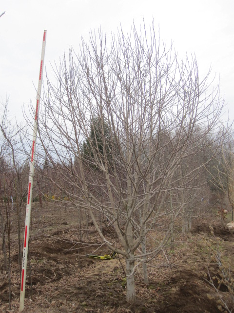 Magnolia kobus  SPECIMEN