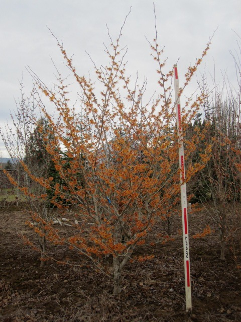 Hamamelis  'Arnold Promise'  tree form