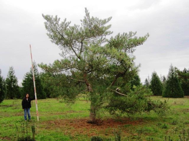 Pinus dens.  'Oculus Draconis' specimen