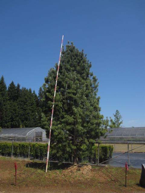 Pinus flexilis  'Vanderwolf's Pyramid' specimen
