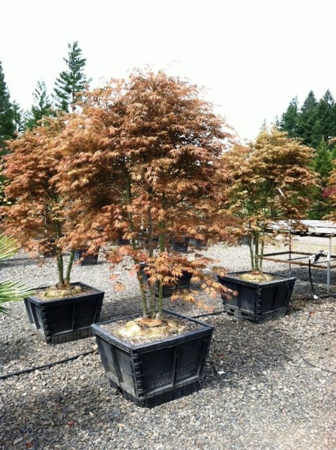 Acer palmatum 'Orange Dream' multi-trunk