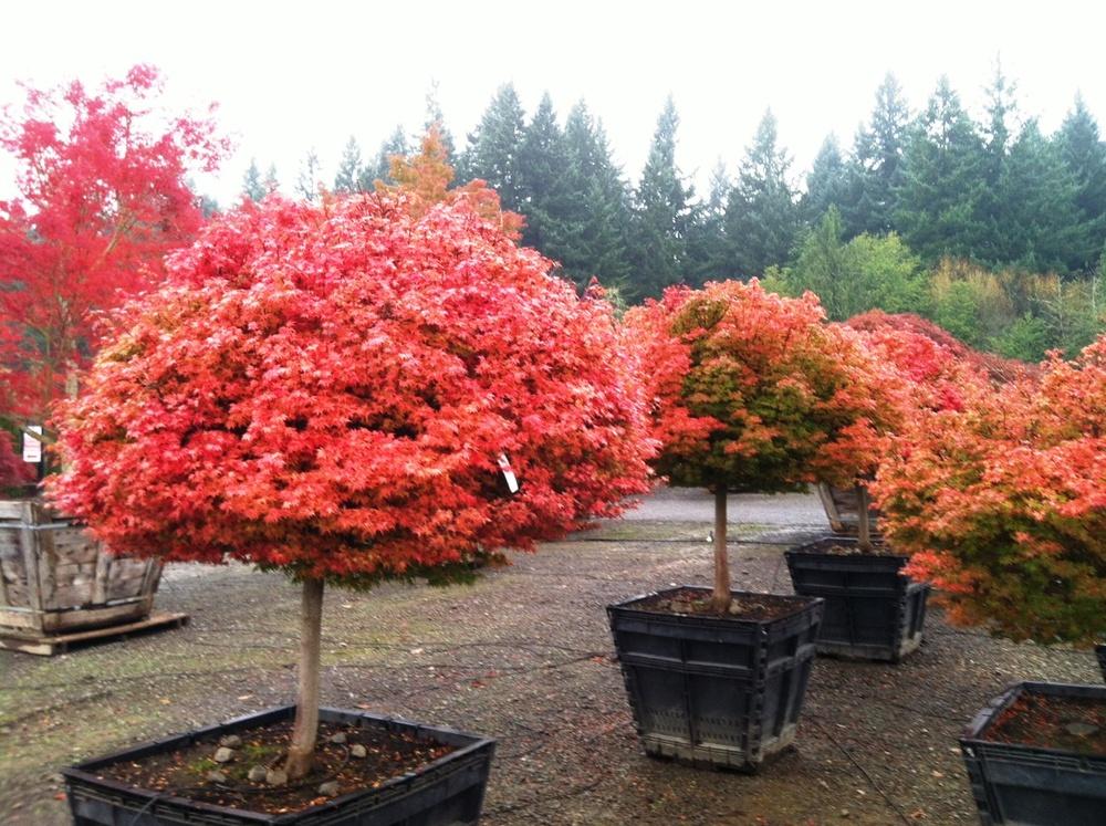 Acer p.  'Coonara Pygmy' fall color