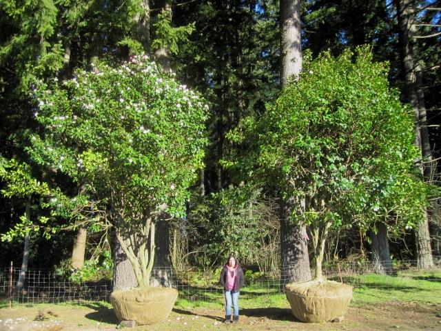 Camellia specimens