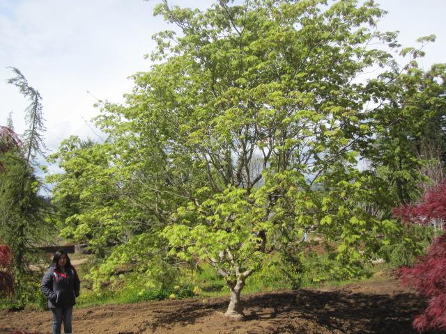 Acer jap.  'Aconitifolium' specimen