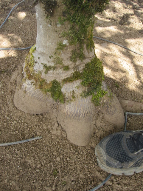 Acer jap. 'Aconitifolium' trunk detail