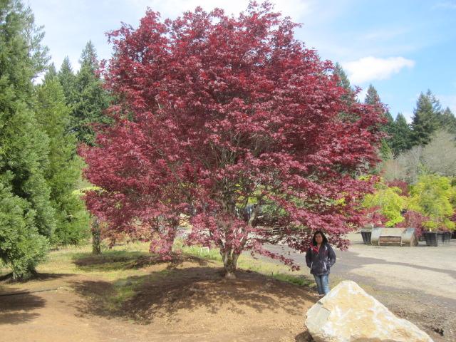 Acer p.  'Margaret Bee' specimen