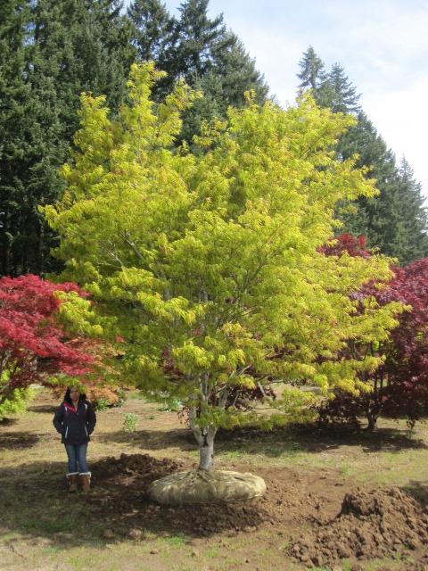 Acer p.  'Scolopendrifolium' specimen
