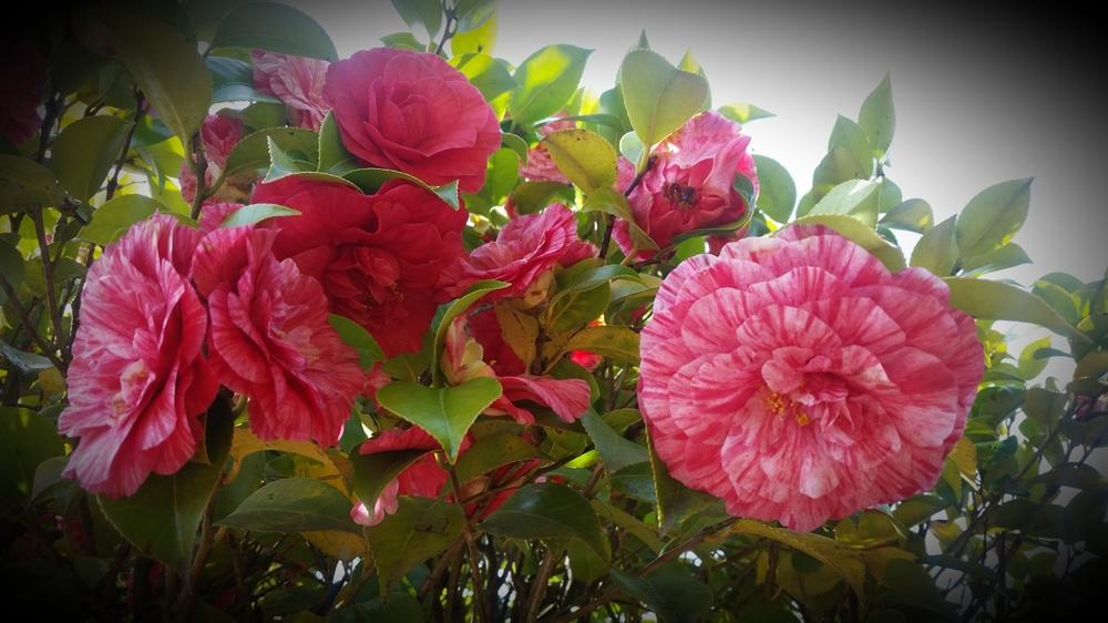 Camellia blossoms