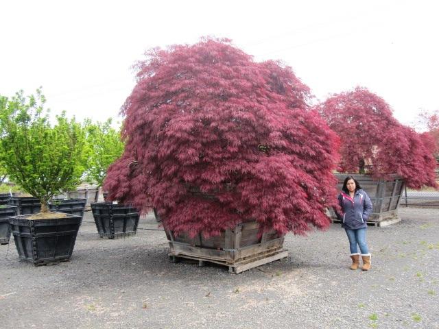 Acer p.d.  'Crimson Queen' specimen