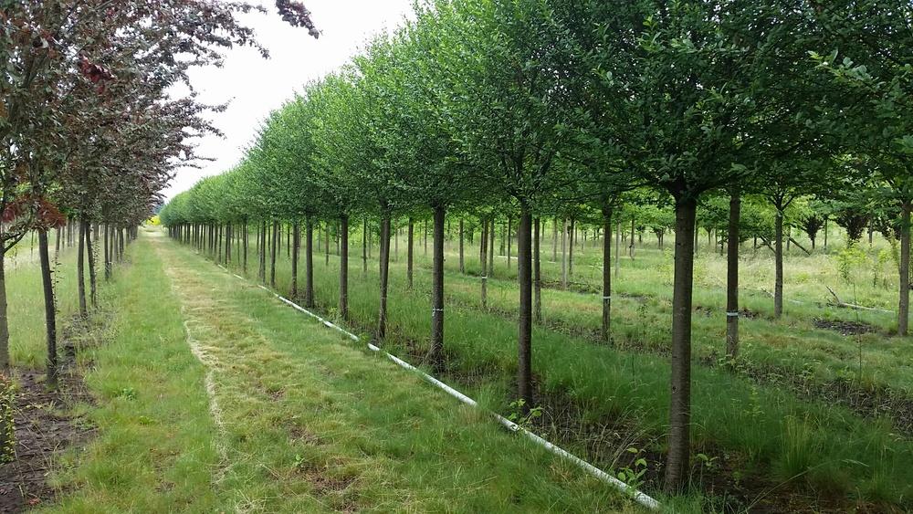 Prunus fruticosa  'Globosa' formal row