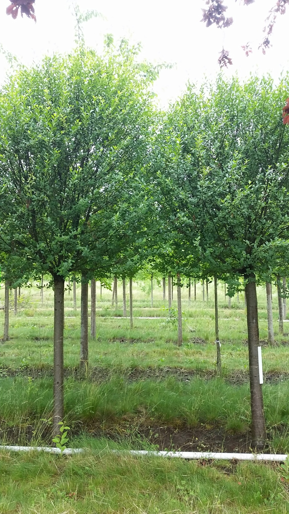 Prunus fr.  'Globosa' uniform high hedge or Allee accent