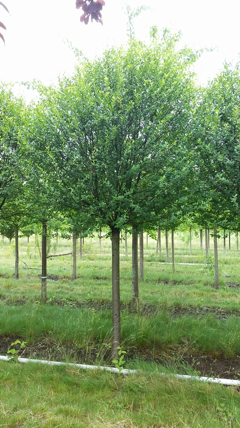 Prunus fr.  'Globosa' single tree detail