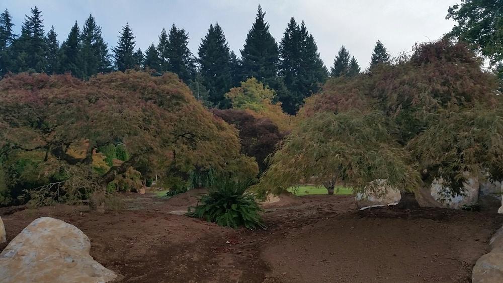Acer palmatum dissectum  Display Gardens